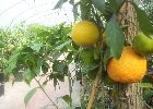 Grapefruit Trees Available from Global Orange Groves UK