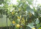 Lemon trees from Global Orange Groves UK