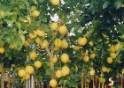 A wide seelction of Lemon Trees available from Global Orange Groves UK