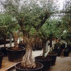Olive Trees - Somewhat larger than those we sell by mail